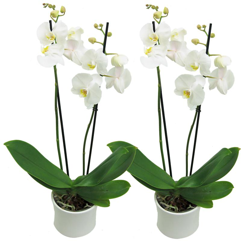 White Phalaenopsis Orchids - 2 for 1