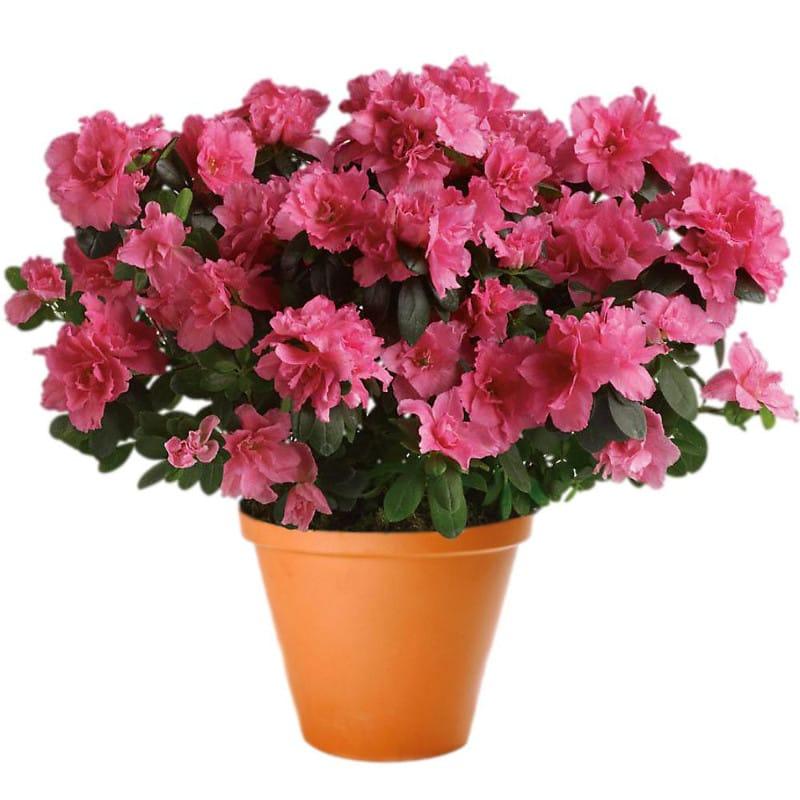 Pink Azalea Pot Plant