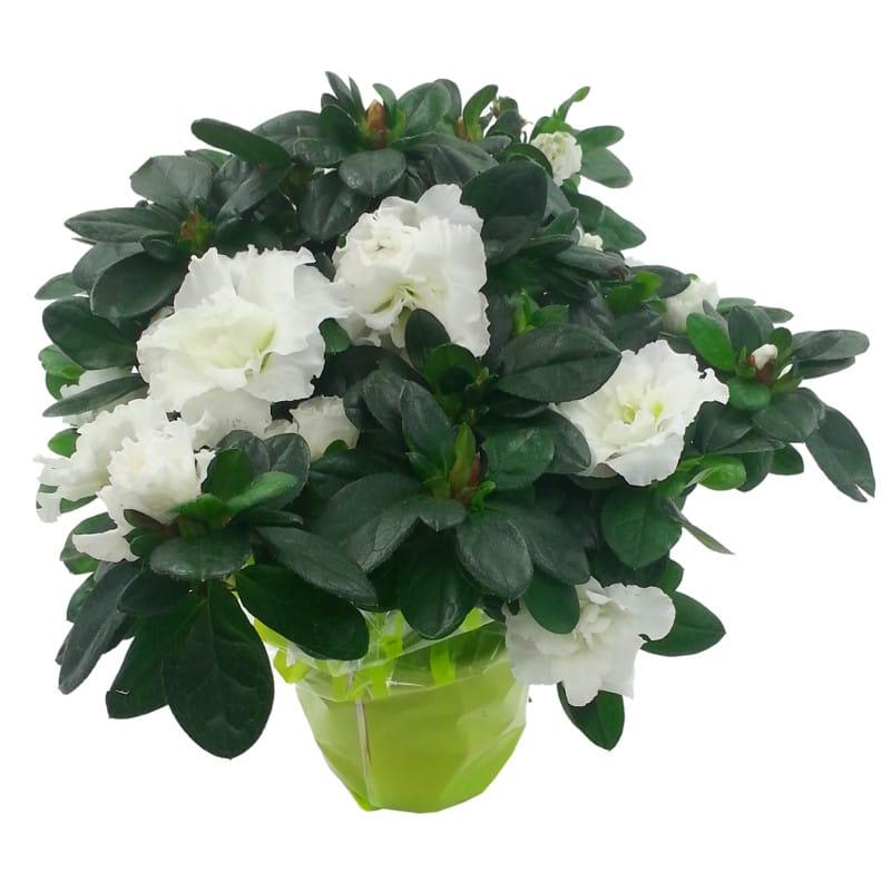 White Azalea Pot Plant