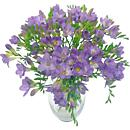a little image of our stunning lilac charm freesia