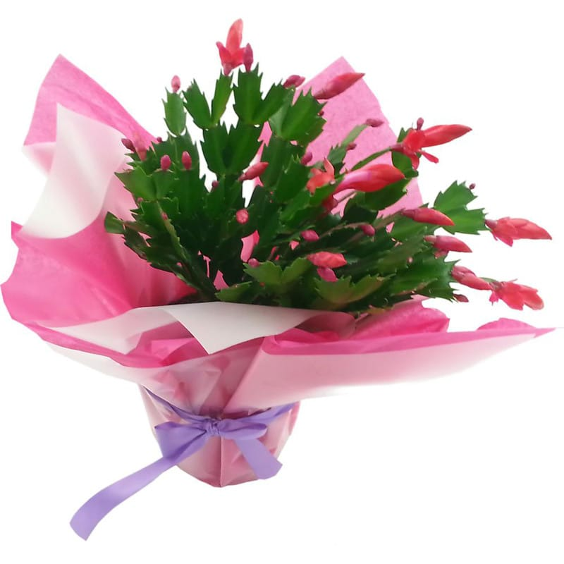 christmas cactus - order christmast cactus from clare florist