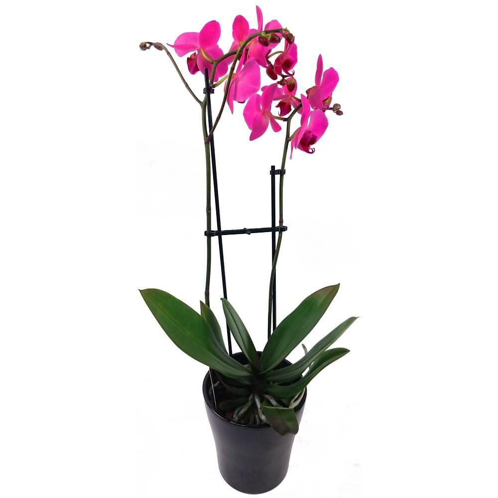 Lilac Phalaenopsis