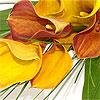 Rich in colour - Mango Calla Lilies