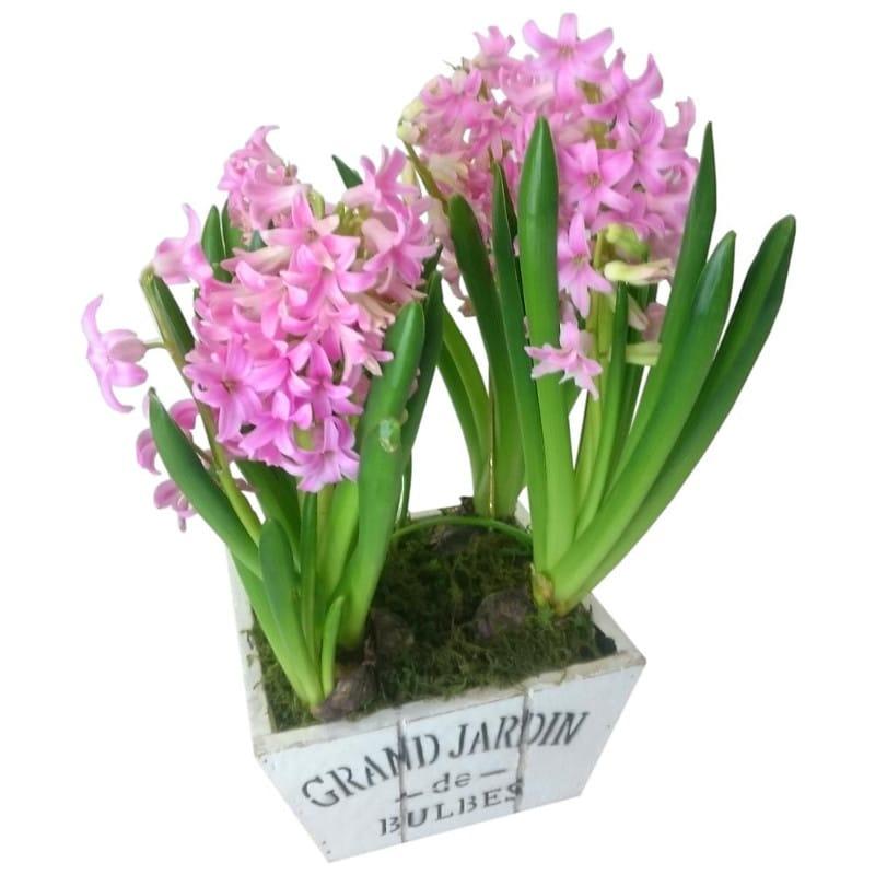Flowers Pink Hyacinth Plant