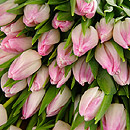 20 Pink Tulips – fresh flowers for UK delivery by post – bouquets and arrangements from Clare Florist