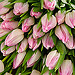 Pretty in Pink, 20 Pink Tulips - Freshly picked and simply presented.