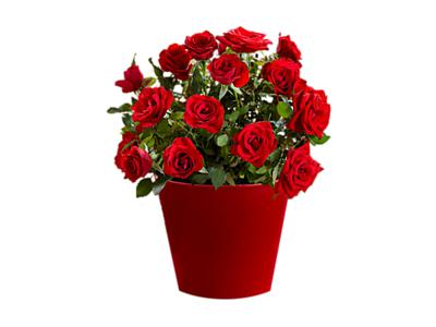 Red Bliss Rose Plant