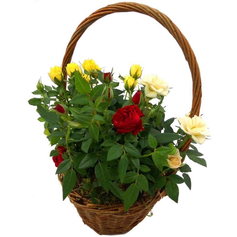 Mixed Rose Plant in Basket
