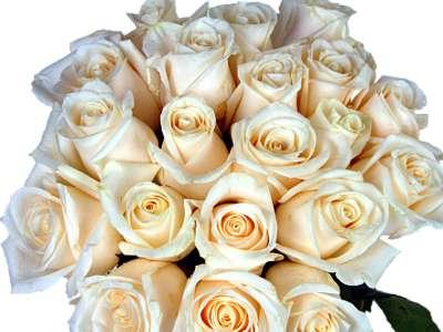 20 White Roses