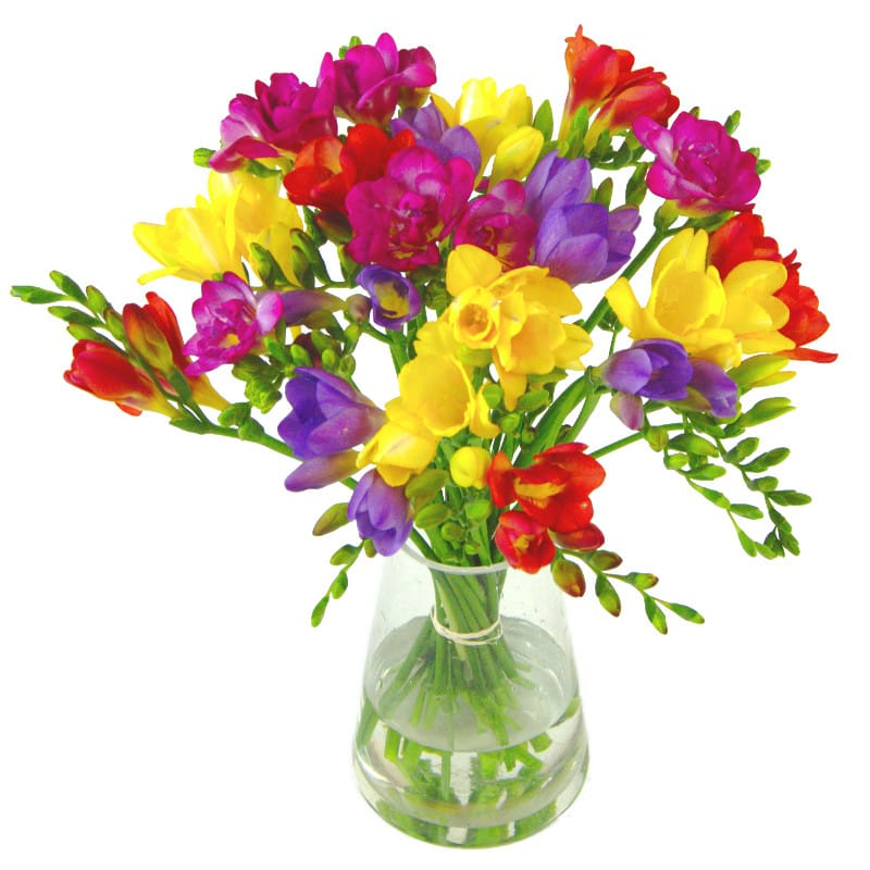 scented freesia, puple freesia, yellow freesia, red freesia blooms