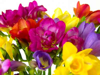 Scented Freesia