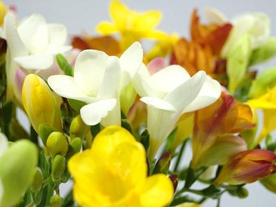 Freesia Flowers on Salut Kebonheur Des Freesias  Celles Ci