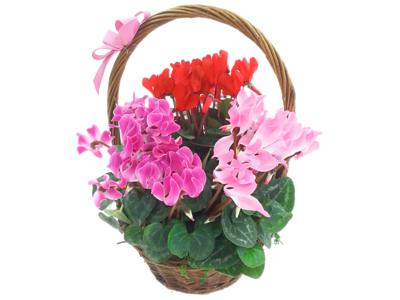 Good Cheer Cyclamen Plant Basket