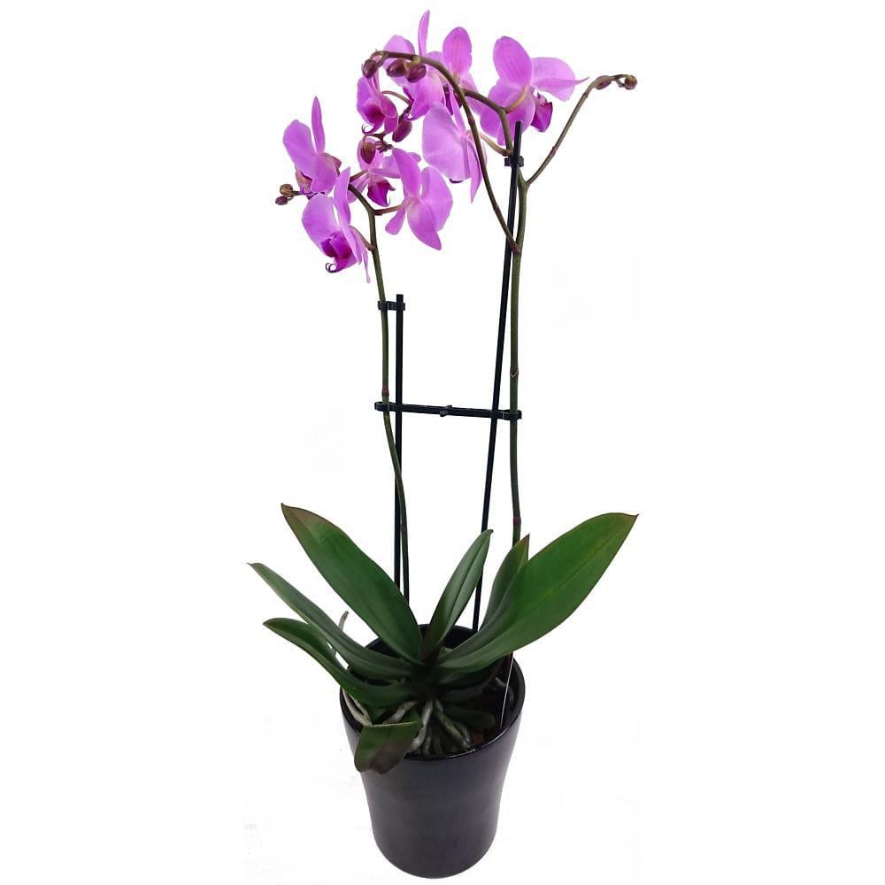 Lilac Phalaenopsis Plant