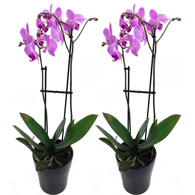 Lilac Phalaenopsis Orchids - 2 for 1