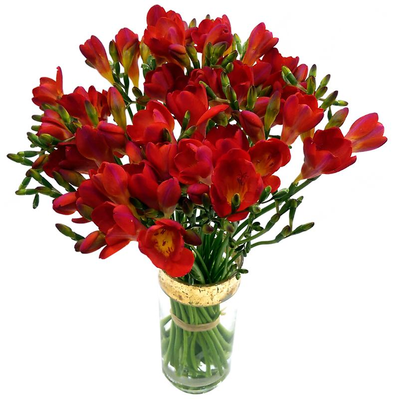 20 Red Freesia
