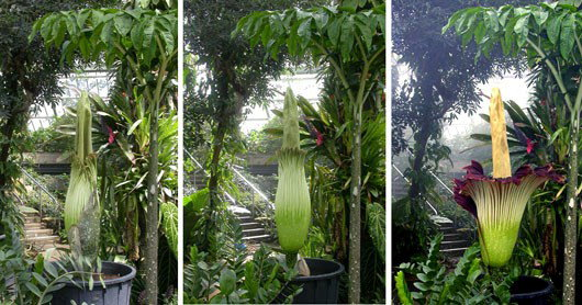 James Morley photos of Titan Arum blooming at Kew