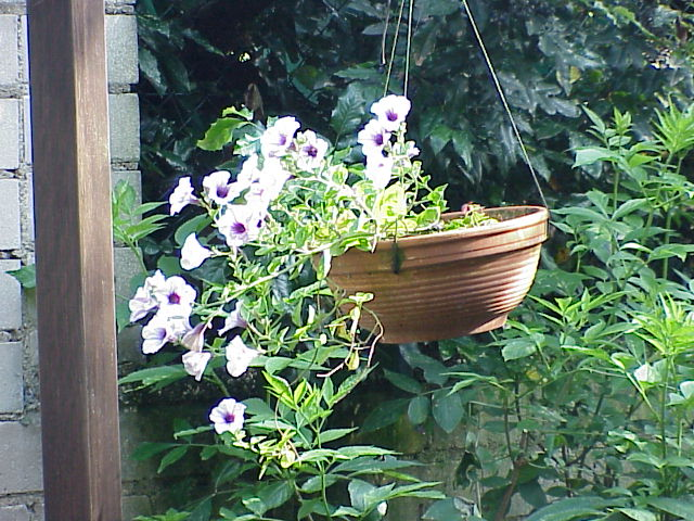 Bowl of Petunias