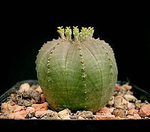 Baseball plant -- image from Wikimedia commons