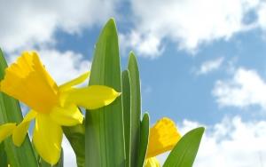 Welsh Daffodil