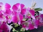 12 stems of the beautiful dendrobium orchid