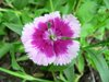 A variety of Pink or Dianthus
