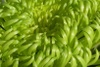 Close up of a green chrysanthemum