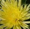 Close up of a yellow chrysanthemum