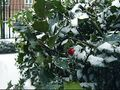 Holly_in_Winter