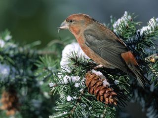 Pine Tree Snow Bird