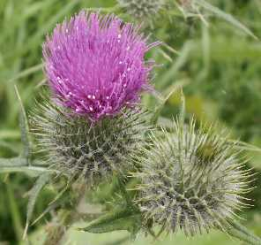 Spear thistle2