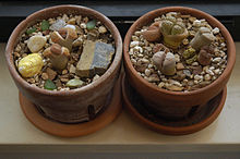 Little lithops