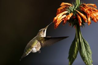 To Kill a Hummingbird: Global Warming to Blame for Disappearing Birds