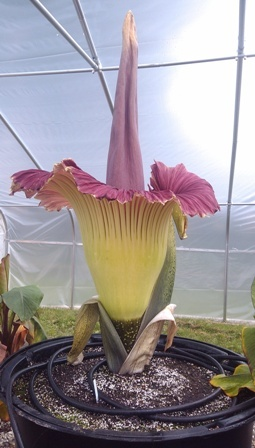 Rare 'Corpse Flower' to Bloom at Franklin Zoo