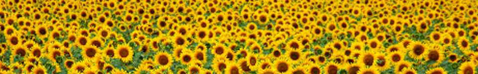 Yellow Helianthus