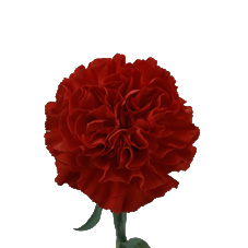 Link to Carnations