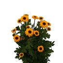 Link to Chrysanthemums