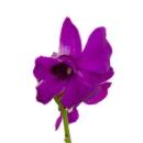 Link to Dendrobium