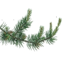 Link to Pine
