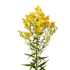 Link to Solidago