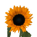 Link to Sunflower