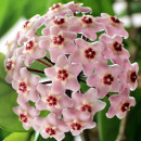 Link to Waxflower