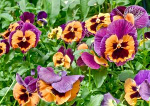 a picture of pansies with a face