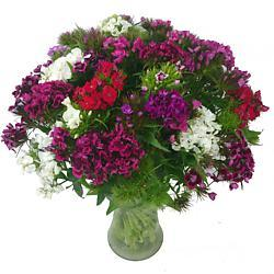 British Sweet William
