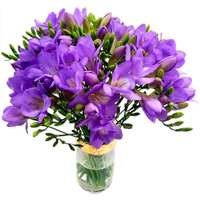 20 Purple Freesia